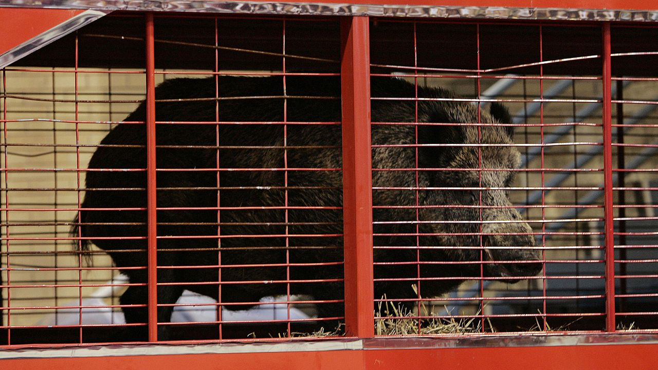 Tusk (Arkansas Razorbacks) - Bildquelle: 2006 Getty Images