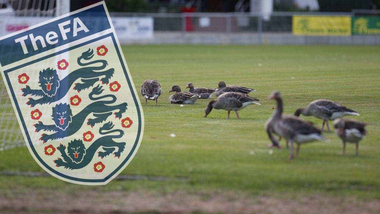 Wegen Kot auf Fußballplätzen: FA ließ 60 Gänse töten - Bildquelle: Imago