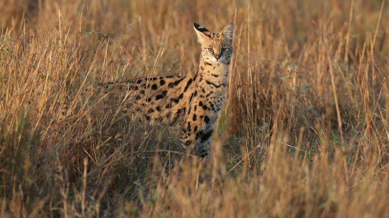 Afrikanische Wildkatzekatze war ein Serval - Bildquelle: Getty Images