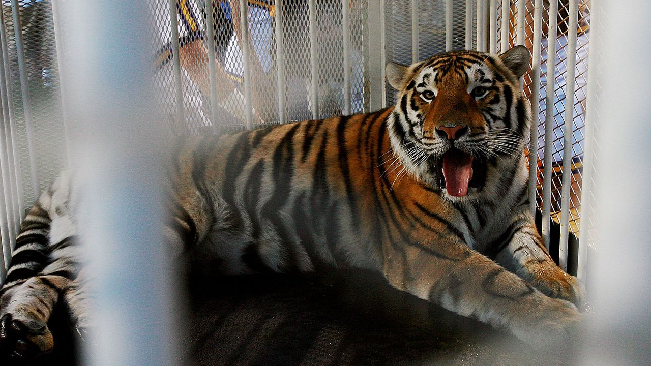 Mike the Tiger (LSU Tigers) - Bildquelle: 2007 Getty Images